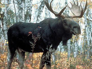 Moose_superior___Content